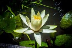 Lotus bianco sotto pioggia soleggiata Fotografie Stock Libere da Diritti
