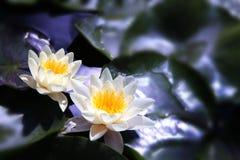 Lotus bianco sul fiume Fotografie Stock Libere da Diritti