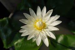 Lotus bianco in Tailandia fotografia stock