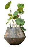 Lotus in big jar Royalty Free Stock Image