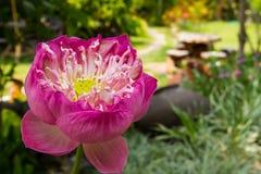 Lotus bij de tuin Stock Foto's