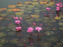 Lotus bij het historische park van Sukhothai Royalty-vrije Stock Foto's