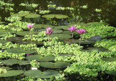 Lotus bij vijver. Stock Foto
