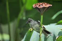 Lotus and bird. A small bird having a short rest on a lotus plant Stock Image