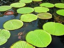 Lotus-Blätter in einem Teich Stockbilder