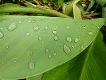 Lotus-Blätter und -tau stockfotos