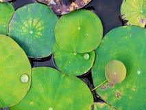 Lotus-Blätter, Wassertropfen Stockbilder
