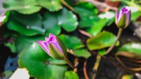 Lotus-Blühen Stockbild