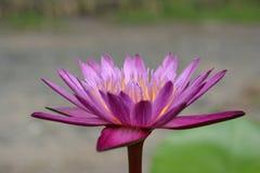 Lotus-Blühen schön Lizenzfreie Stockfotos