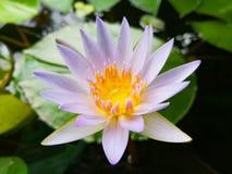 Lotus-Blüte Lizenzfreie Stockfotos