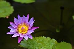 Lotus-Blüte Stockfotografie