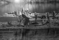 Lotus-Blüte stockbild