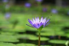 Lotus-Blüte Stockfotos