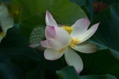 Lotus-Blüte auf dem grünen Gebiet Stockfotografie