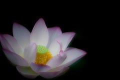 Lotus-Blüte Blume Stockbilder