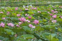 Lotus-Blüten Stockfoto