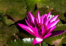 Lotus-Blütenblume und -biene beautyful im Hintergrund Stockfoto