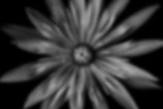Lotus black and white blurred background Stock Image