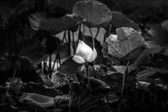 Lotus black and white image Royalty Free Stock Photos