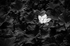Lotus black and white image Royalty Free Stock Photography