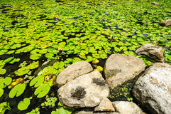 Lotus-blad Stock Foto