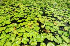 Lotus-blad Stock Foto's