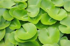 Lotus blad Arkivfoto
