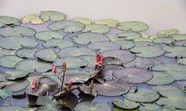 Lotus-blad in de pool Royalty-vrije Stock Fotografie