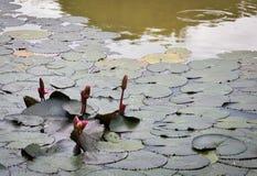 Lotus-blad in de pool Royalty-vrije Stock Foto