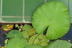 Lotus blad i vatten-baserade naturresurser Arkivfoto