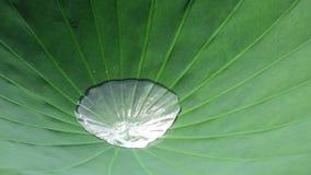 Lotus-blad met water stock video
