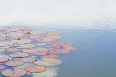 Lotus blad på vattnet i aftonen Royaltyfri Fotografi