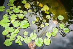 Lotus blad som är litet i dammet Royaltyfri Foto