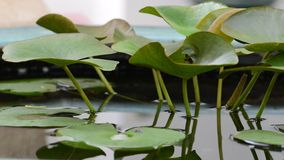 Lotus-bladclose-up in vijver royalty-vrije stock afbeeldingen