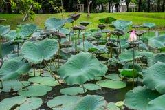 Lotus-bladeren in de vijver stock afbeelding