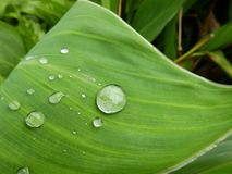 Lotus-bladeren en dauw, groene installaties stock foto