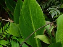 Lotus-bladeren, groene installaties - achtergrond stock afbeeldingen