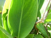 Lotus-bladeren, groene installaties royalty-vrije stock foto