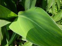 Lotus-bladeren, groene installaties royalty-vrije stock foto's