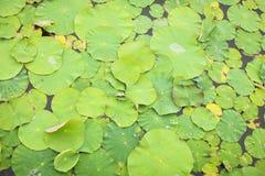 Lotus-bladeren met dalingen van water Oosterse tuin Natuurlijke exotische achtergrond, selectieve nadruk stock foto
