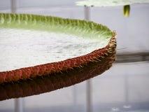 Lotus-bladeren met doorn Stock Afbeeldingen