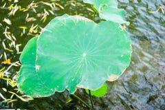 Lotus-bladeren in vijver bij Chinese tuin Royalty-vrije Stock Foto's