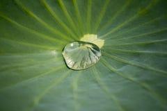 Lotus bladtextur Arkivfoto