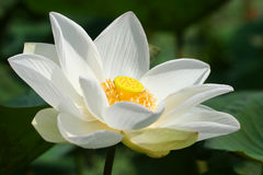 Lotus blanc Photographie stock