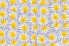 Lotus blanc. Photo stock