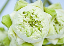 Lotus blanc Photo libre de droits