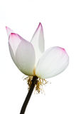 Lotus blanc. Photos libres de droits