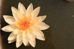 Lotus blanc Photographie stock libre de droits