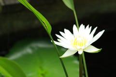 Lotus blanc Photo stock