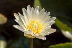 Lotus blanc Image libre de droits